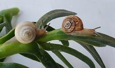 Live White Garden Land Snails