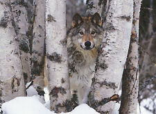 Mountain Ranger Art Wolfe Photograph Animal Wolf Wolves Print Poster 11x14