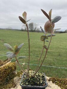 Aronia melanocarpa (Black chokeberry) supplied in 8cm pot