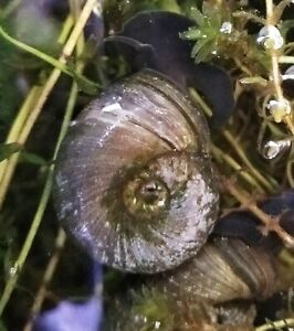 5 x Great Ramshorn Pond Snails (Planorbarius corneus) - Cold Water, large 2-3cm