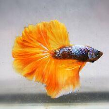 Live Betta Fish - Male - Fancy Yellow PineApple Halfmoon (AMMAUG95) (High-Grade)