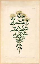 Edwards Botanical Register 1831 white flower Intermediate Pimelea engraving