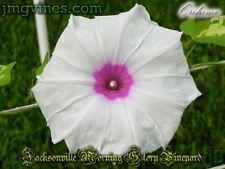 Orihime Japanese Morning Glory 6 Seeds