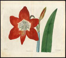 Antique Print-AMARYLLIS-RED-LEAF-White-Edwards-1817
