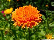 ORANGE POT MARIGOLD DWARF - Calendula officinalis 400 seeds ANNUAL FLOWER