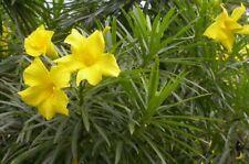 Thevetia neriifolia Lucky Nut Tree 10 seeds Us seller