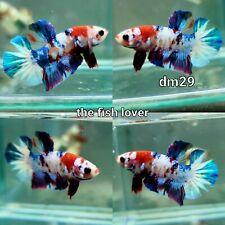 New listing DM29 Imported Live Betta Fish Male Halfmoon Plakat Koi Galaxy USA SELLER