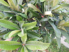 Loquat Leaves,1Gallon bag- Fresh Ship the day Picked!no fertilizer no pesticides