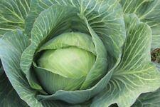 Markstammkohl-oublié légumes-Brassica oleracea 2000 Graines