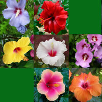 100 Hibiscus Flower Seeds Mixed Giant Perennial Exotic Plant Bonsai for Home