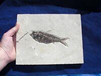 FOSSIL FISH DINOSAUR ERA KNIGHTIA USA Large Display Plate