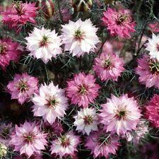 Love-in-a-mist (Nigella) - Mulberry Rose 50 Semillas