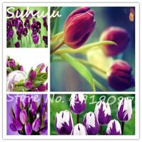 100seeds/bag rare purple tulip flowers seeds indoor and outdoor potted plants di