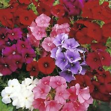 0.3g (appr.200) annual phlox seeds PHLOX DRUMMONDII HOOK. stunning colors, Mixed