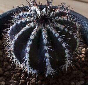 Uebelmannia Pectinifera - Black Rare Cactus - 5 Seeds
