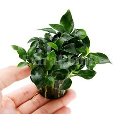Anubias nana barteri 'Petite' Full Potted - Rare Easy Live Aquarium Plants Moss