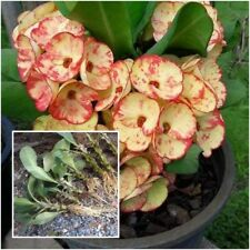 Euphorbia milii 1 Rooted Plant Crown of Thorns ''Rakhang Thong'' From Thailand