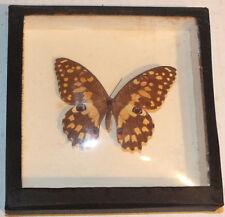 Vintage Framed Papilio Demoleus
