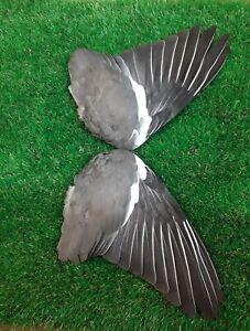 Pair of Woodpigeon wings