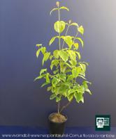 CORNUS FLORIDA RAINBOW V18 piant plant corniolo da fiore