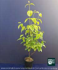 CORNUS FLORIDA RAINBOW V18 plantes plante corniolo par fleur