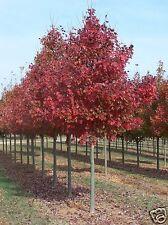 Trident Maple Seed - Good Bonsai Plant - Frost Hardy Deciduous Autumn Colour