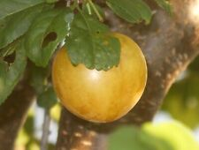 Marianna cherry plum fruit tree seedling, Unusual var. hardy edible LIVE PLANT