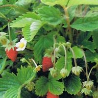Wild Strawberry- Vesca Red- 100 seeds- BOGO 50% off SALE
