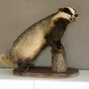 Badger Preparation With Open Fang Predator Prepared Animal Specimen Taxidermy