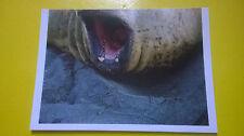 Figurina BILLA Sticker der Tierischer Rekorde n°59 SEE-ELEFANT Elefane marino