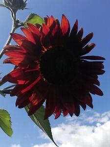 """30 Samen Sonnenblume""""Samtkönigi"""" wunderschön dunkel rot..sehr beliebte Sorte"""