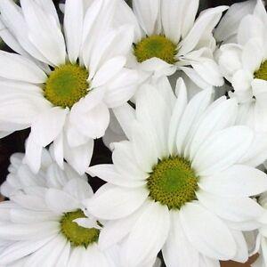 Print Photograph Flower Garden Wall Decor 8x8 White Daisies (Poster Art Picture)