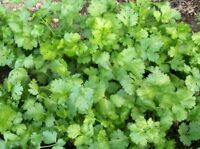 Cilantro Coriander Seed - Long Standing Chinese Parsley Herb Seeds (¼oz to 8oz)