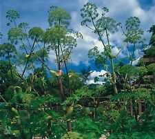 Herb - Angelica - 1000 Seeds
