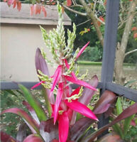 BROMELIAD Aechmea DENNIS B. Spectacular Colorful Large Grower! Pretty Sun Hardy!