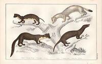 C1850 Goldsmith Cuvier Estampado ~ Weasel Pino Martin Ermine Visón