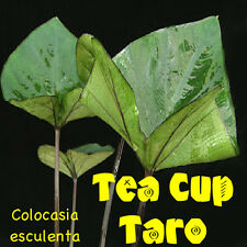 Tea Cup Taro Colocasia esculenta Kalo Ornamental Elephant Ear Live Starter Plant