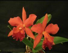 Sheath! Potinara Curtis Wayne Compton 'Aaron' Cattleya 6.5� Potted Mature Plant