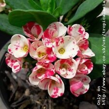 Crown of Thorns Euphorbia Milii White stained piink flowers: Cloud candy CT02