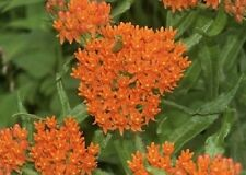 30+WILD ORANGE BUTTERFLY WEED FLOWER SEEDS / ASCLEPIAS / PERENNIAL / GREAT GIFT