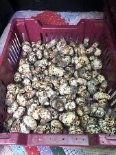 Matsutake Mushrooms (Pine mushroom) - Dried 2oz - Grade AA