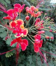 50/100 Seeds Rose/Yellow/Red Pride Of Barbados CAESALPINIA PULCHERRIMA new