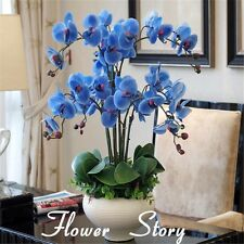 Rare Orchid Bonsai Balcony Flower Blue Butterfly Orchid Seeds Phalaenopsis