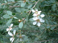 Leptospermum laevigatum  -Coast Teatree 20+ seeds