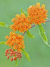 butterfly weed, HUMMINGBIRDS magnet beauty, ORANGE FLOWER, 60 seeds! GroCo*