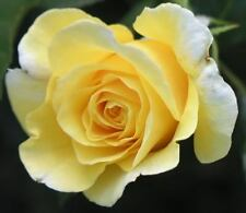 5 YELLOW ROSE Rosa Bush Shrub Perennial Flower Seeds + Gift & Comb S/H
