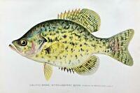 1904-1906 RARE Antique DENTON FISH Print CALICO BASS/STRAWBERRY BASS Pomoxys ***