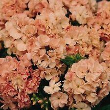 Phlox Seeds Promise Peach 50 Double Flower Phlox flower seeds Phlox drummon