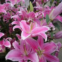 50pc Pink Lily Bulbs Flower Seeds Planting Lilium Perfume Home Garden Decor US