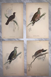 Set Of 4x Antique Prints, Pigeons. William Home Lizars Scottish Art Lear Stewart